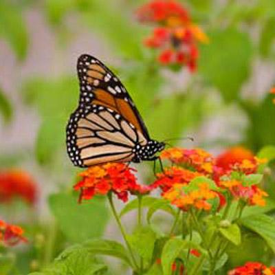 san diego butterfly garden juniper landscape