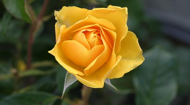 Why Is This a Fantastic Time of Year for Pruning Roses?